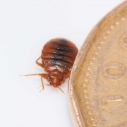 Flatness of a Bed Bug - Appearance, in the context of a Canadian Dollar Coin.