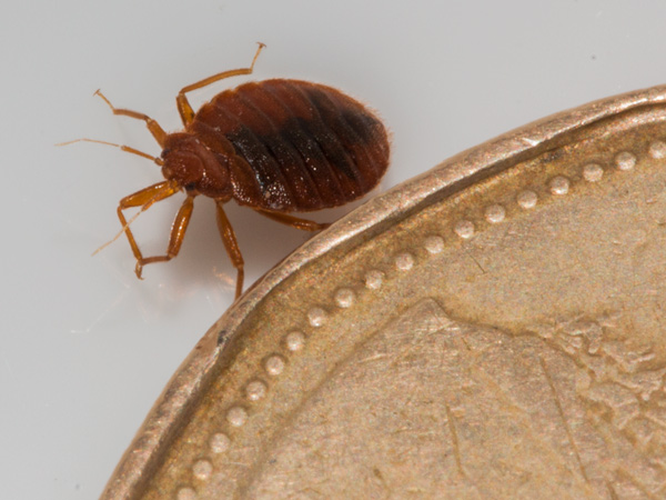 A Bed Bug's appearance, in the context of a Canadian Dollar Coin.