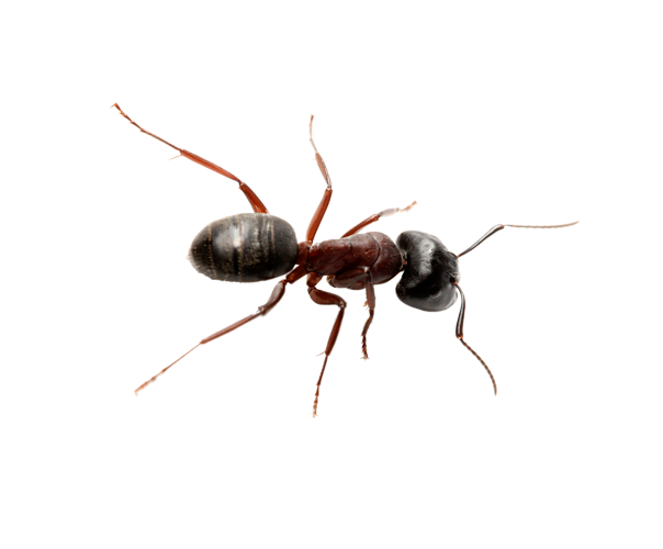 A Carpenter Ant