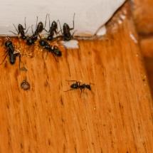 Carpenter Ants Feeding on Sugar Bait