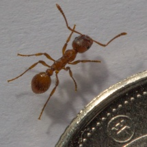 A Fire Ant
